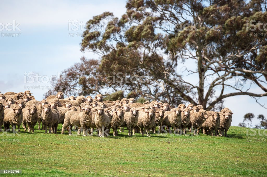 A flock of sheep all look in one direction on a green grassy hill stock photo