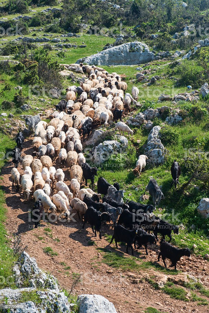 Flock of sheep  and goat stock photo
