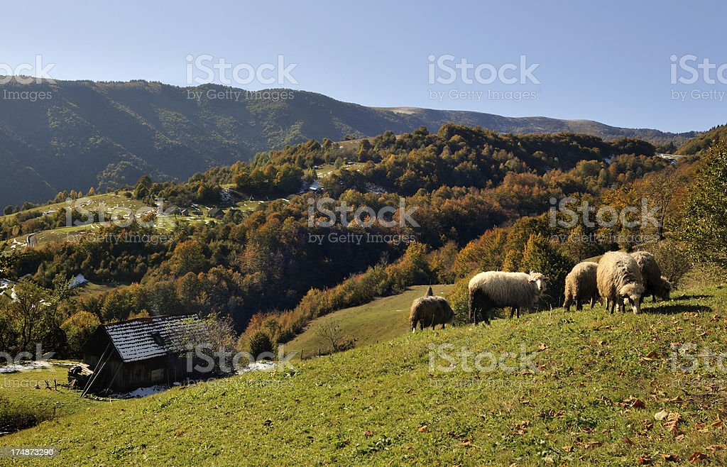 Flock of sheep and old hut in autumn mountains royalty-free stock photo