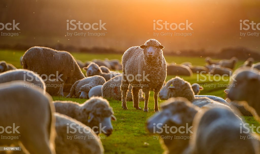 Flock of sheep at sunset stock photo