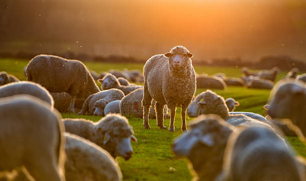 flock of sheep at sunset - wool stock photos and pictures