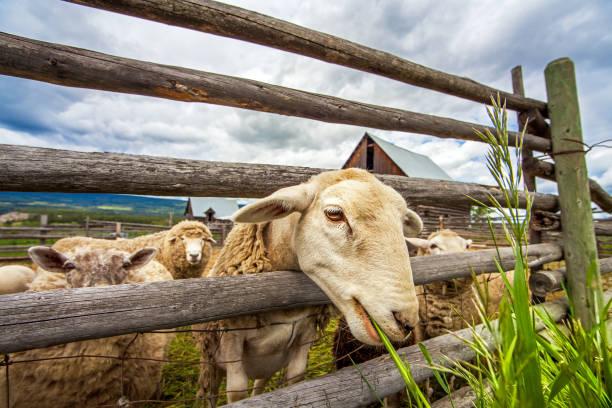 Flock of sheep at Williams Lake British Columbia Canada stock photo