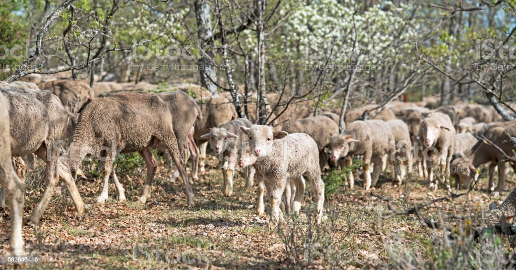 Flock of sheep being herded through a forest stock photo