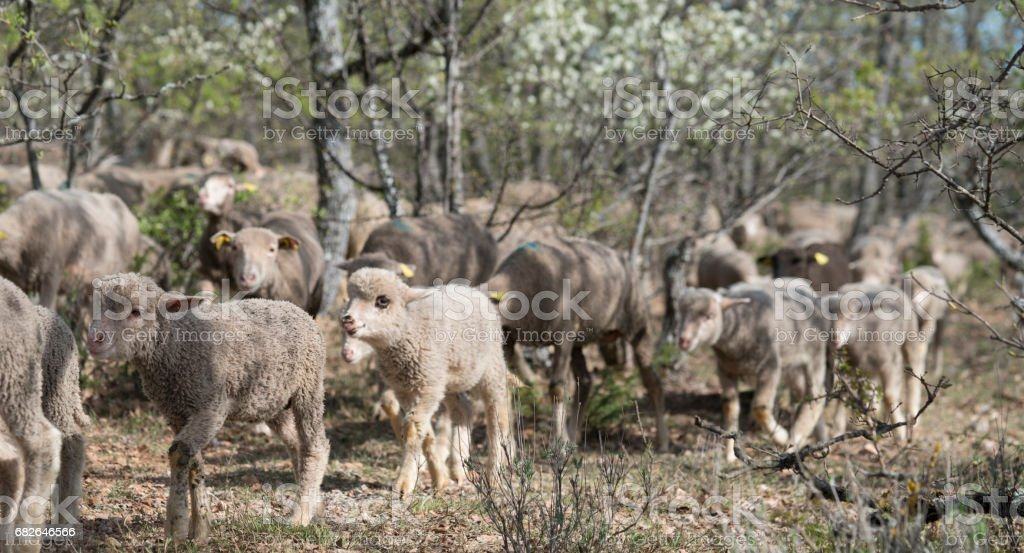 Flock of sheep being herded through the woods stock photo