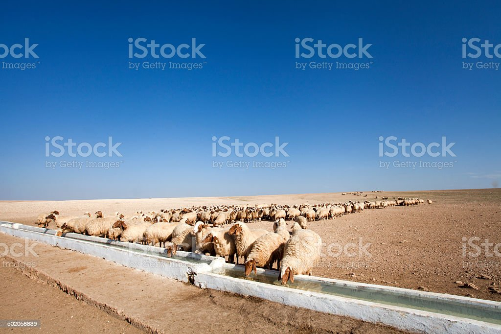 Flock of sheep  drinking stock photo