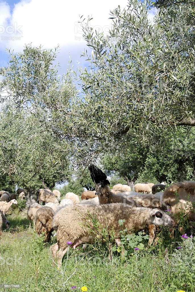 flock of sheep eating leaves from olive tree royalty-free stock photo