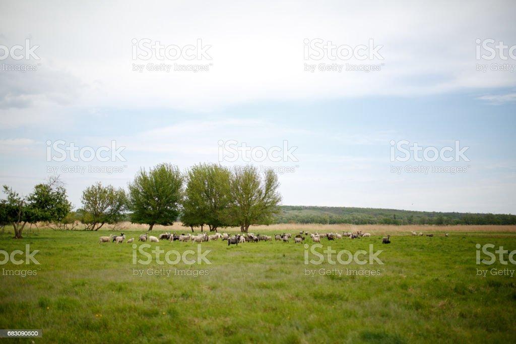 Flock of sheep graze in the meadow foto de stock royalty-free
