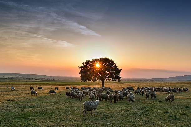 Troupeau de moutons paissant sur une colline au coucher du soleil - Photo