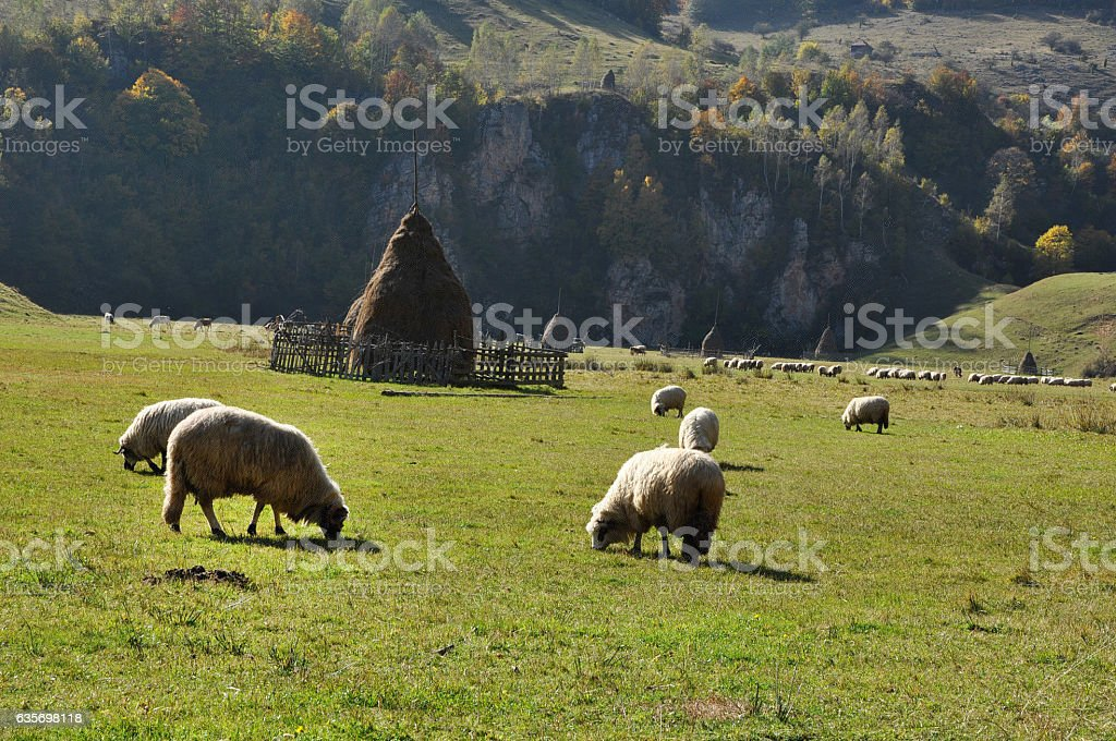 Flock of sheep grazing in a meadow at autumn royalty-free stock photo