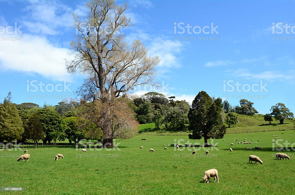 Flock of sheep grazing in a paddock stock photo