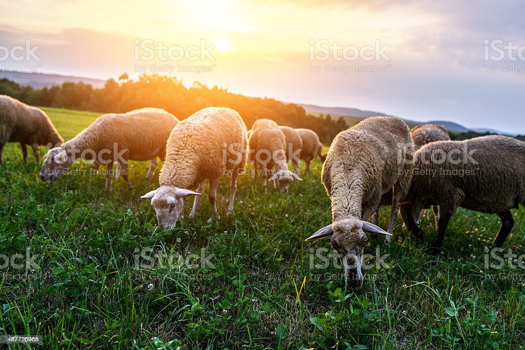 Flock of sheep grazing in a pasture stock photo