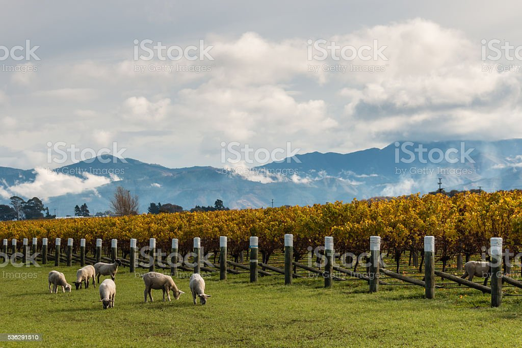 flock of sheep grazing in autumn vineyard stock photo