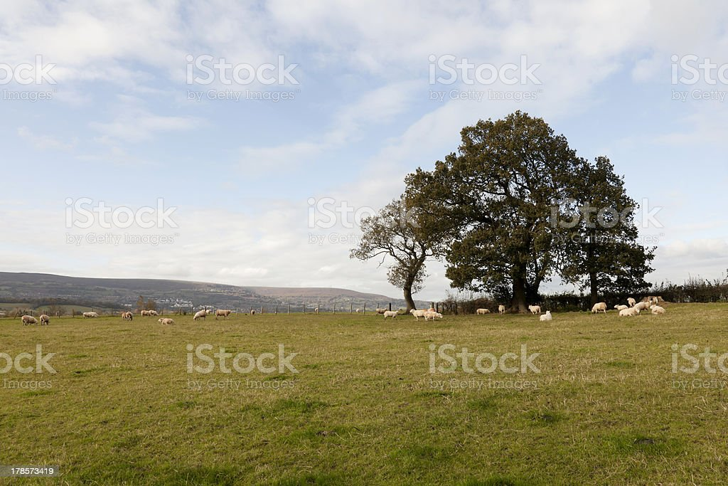 Flock of Sheep grazing in South Wales with Blue Sky stock photo