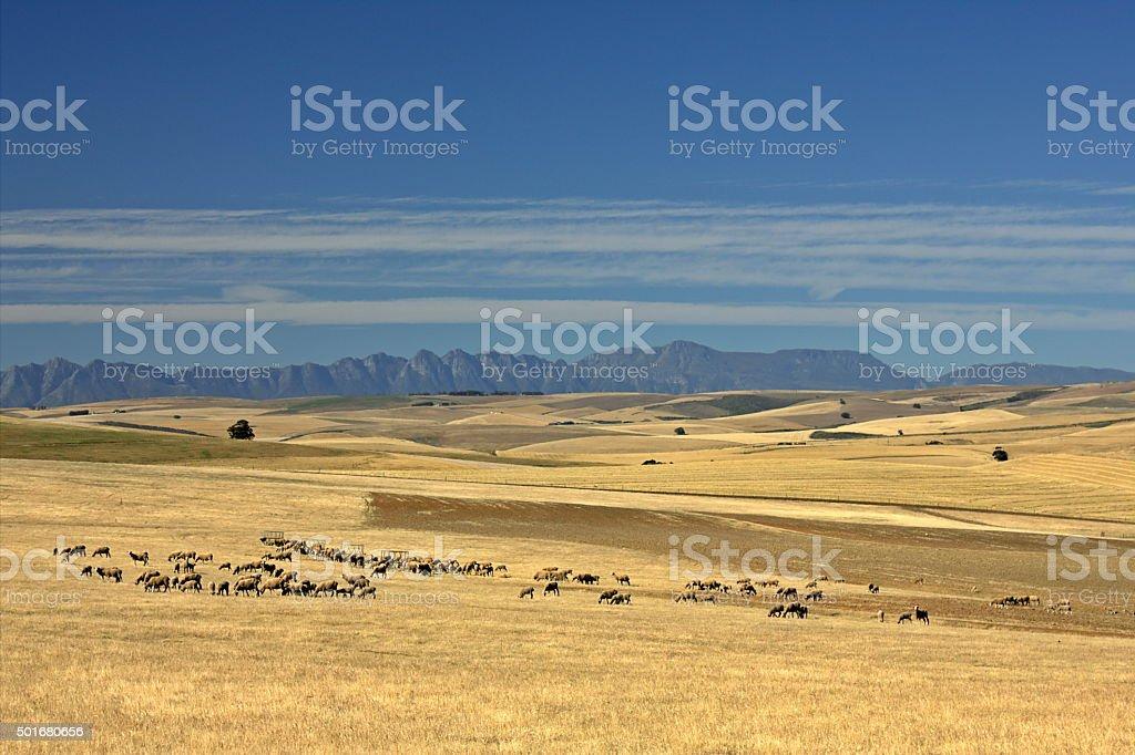 Flock of sheep grazing near the Caledon Mountains stock photo