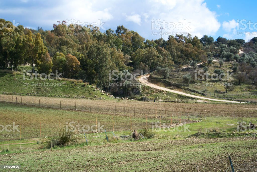 A flock of sheep grazing near the road at Ronda, Andalusia, Spain. royalty-free stock photo