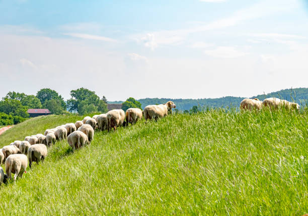 A flock of sheep grazing on a dike on the river Elbe. The animals are used to maintain the dike planting in an ecological way. A flock of sheep grazing on a dike on the river Elbe. The animals are used to maintain the dike planting in an ecological way. lower saxony stock pictures, royalty-free photos & images