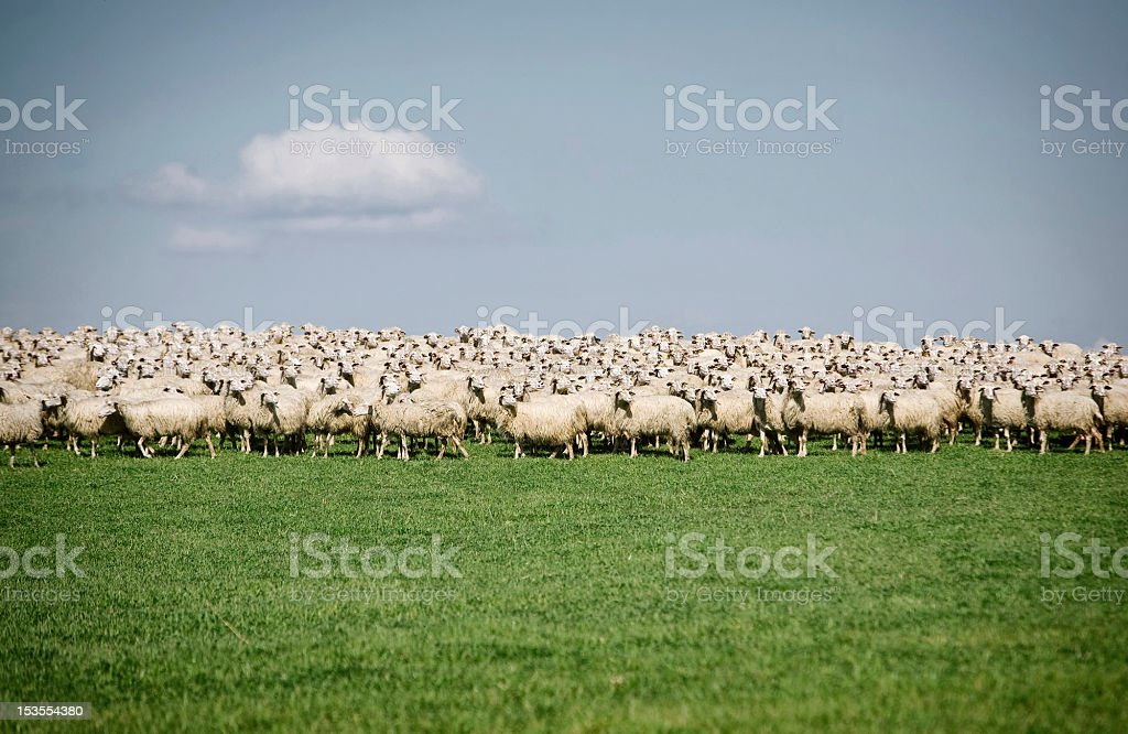Flock of Sheep Grazing on a Field stock photo
