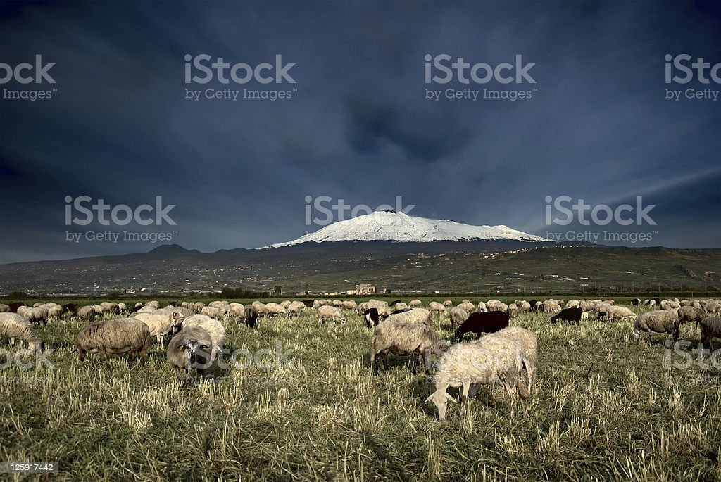 flock of sheep grazing on background Etna snowy royalty-free stock photo