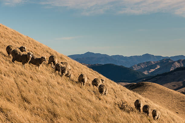 flock of sheep grazing on slope flock of merino sheep grazing on slope merino sheep stock pictures, royalty-free photos & images