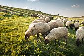 istock Flock of sheep grazing 500613590