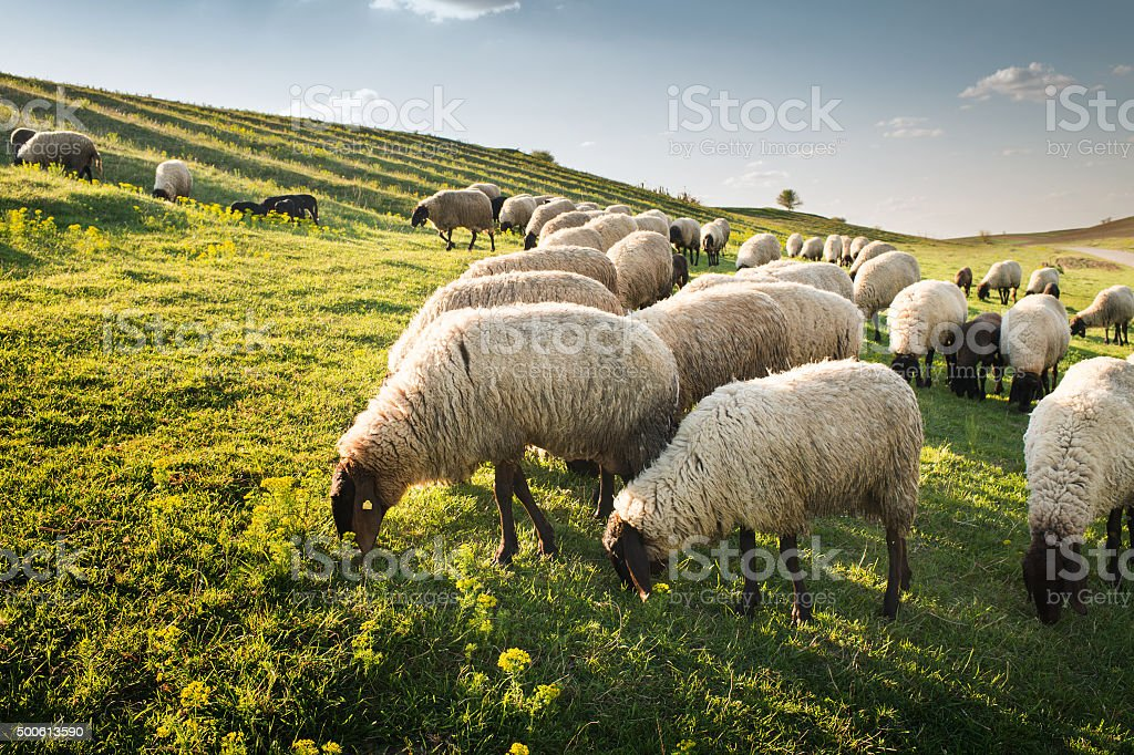 Flock of sheep grazing stock photo
