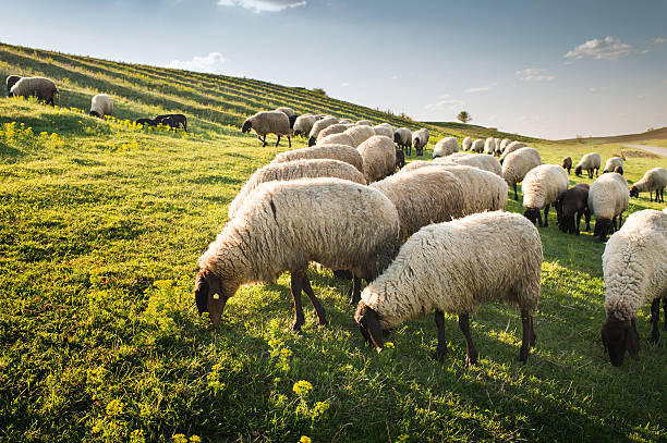 Gregge di pecore al pascolo - foto stock