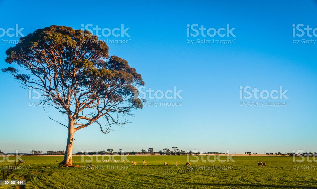 A Flock of Sheep Grazing under a Lonely Tree stock photo
