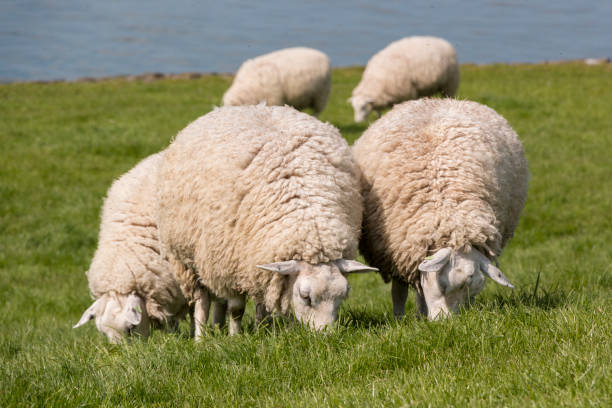 Flock of sheep grazing with the water of the IJsselmeer in the background. stock photo