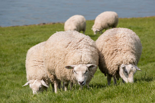 Flock of sheep grazing with water in the background stock photo