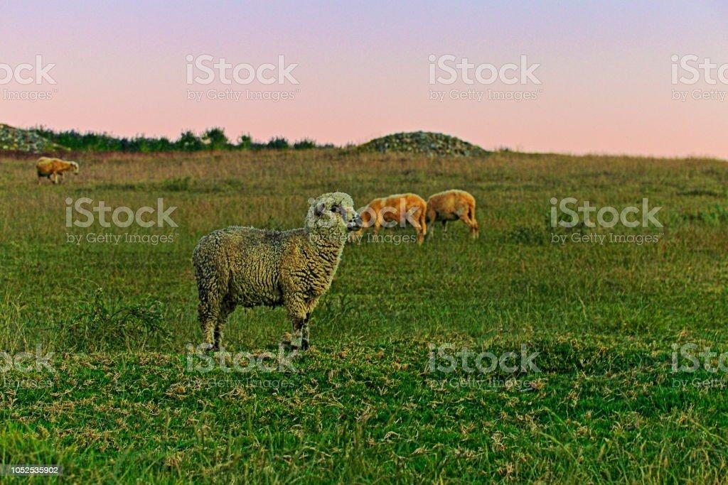 Rebanho de ovelhas em uma fazenda - Andes peruanos - Huaraz, região de Ancash, Peru - foto de acervo