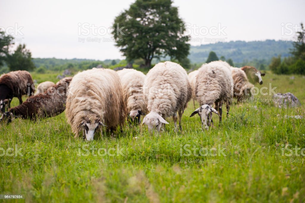 Flock of sheep in a field. Green grass. royalty-free stock photo