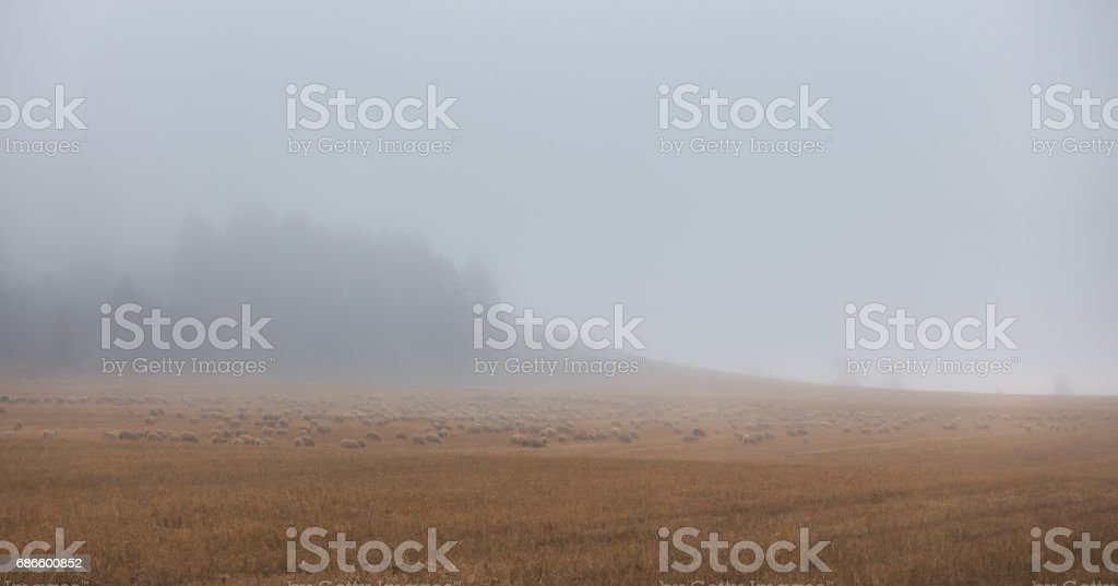 Flock of sheep in a foggy autumn day royalty-free stock photo