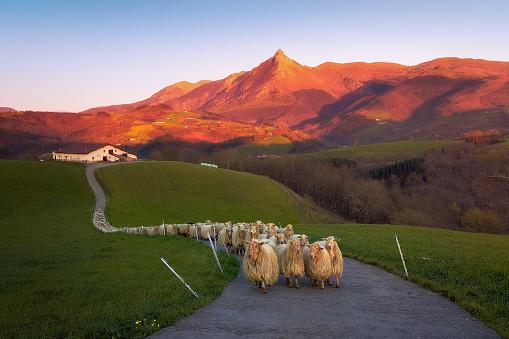 flock of Sheep in Lazkaomendi with view of Txindoki mountain