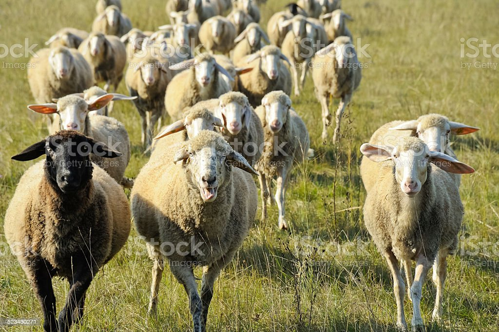 Flock of sheep in motion stock photo