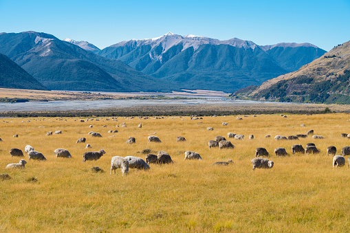 Flock of Sheep in New Zealand