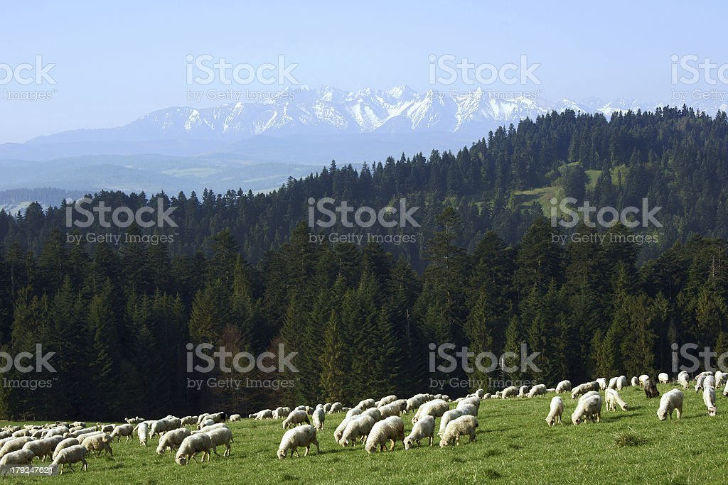 flock of sheep in Pieniny mountains royalty-free stock photo