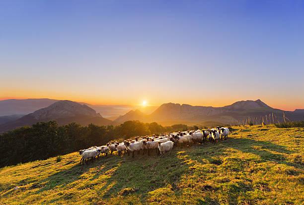 Rebaño de oveja en Saibi a las montañas - foto de stock