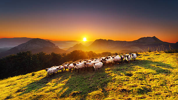 flock of sheep in Saibi mountain Flock of sheep in Saibi mountain. Urkiola, Basque Country flock of sheep stock pictures, royalty-free photos & images
