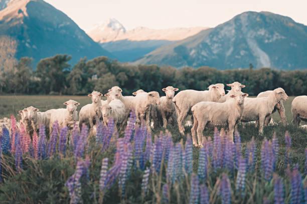 kudde schapen in zuid-nieuw-zeeland tijdens zomer lupine seasson - schaap stockfoto's en -beelden