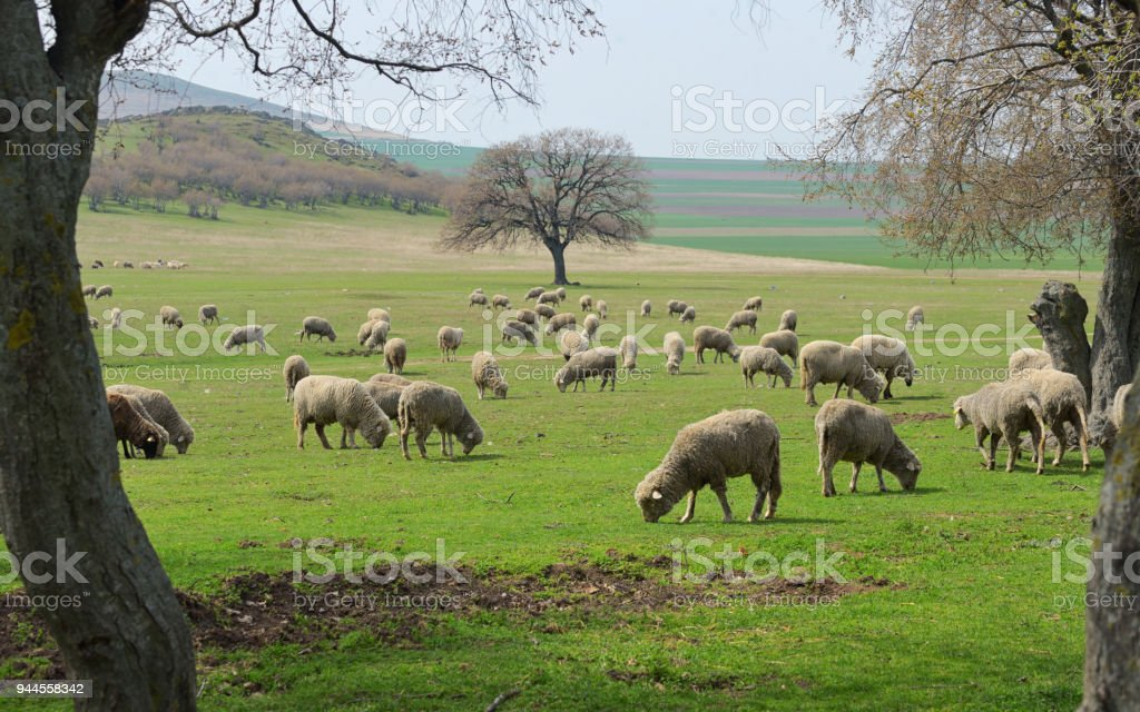 Troupeau de moutons au printemps - Photo