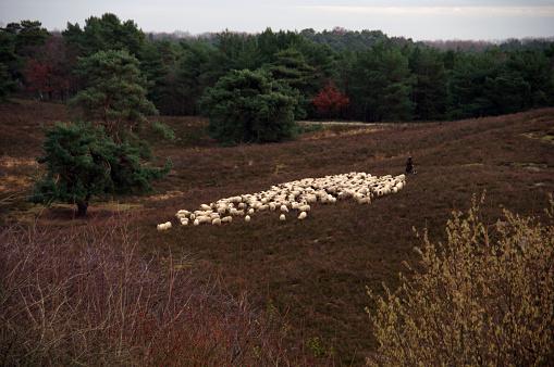Flock of sheep in the heathland
