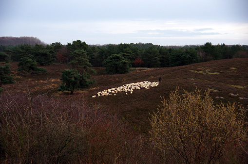 Flock of sheep in the heathland