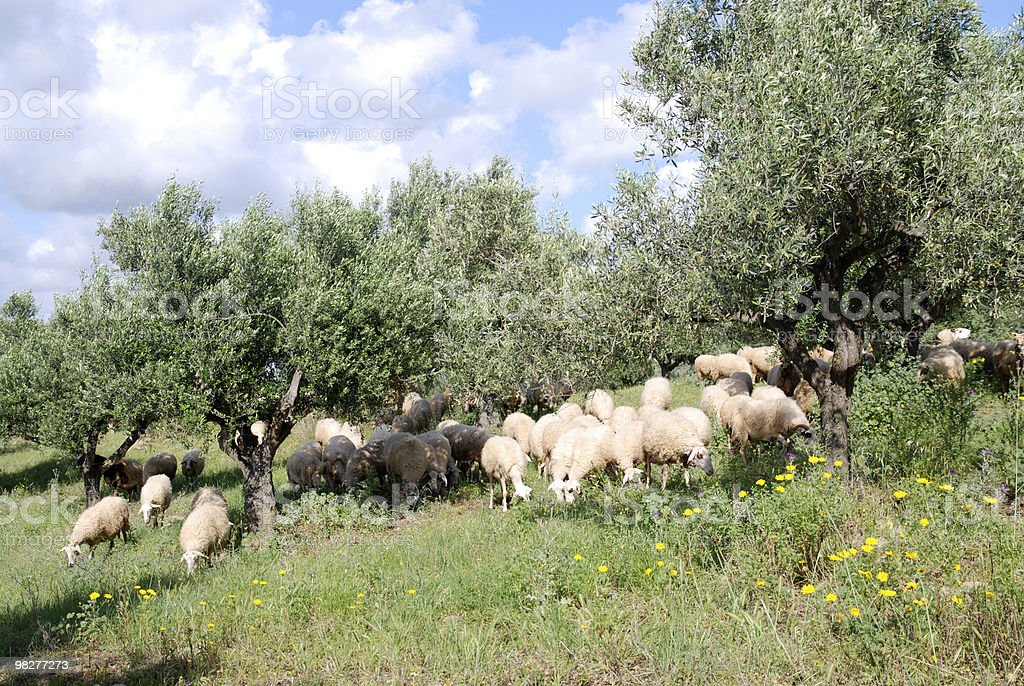 flock of sheep in the middle from olive tree plantation royalty-free stock photo