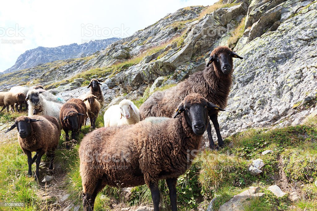 Flock of sheep in the mountains, Hohe Tauern Alps, Austria stock photo