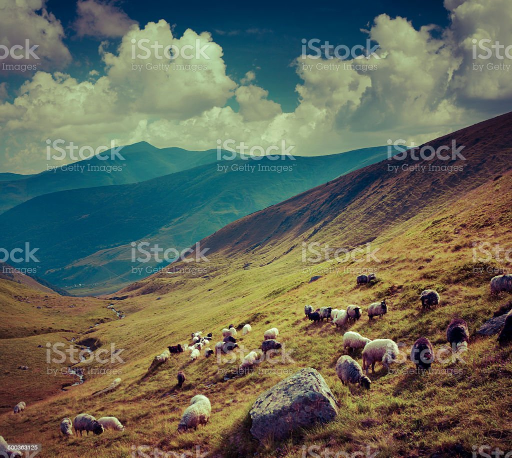 Flock of sheep  in the mountains. stock photo