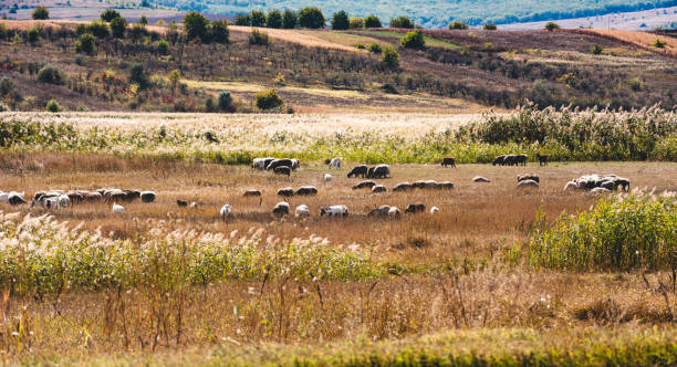 A flock of sheep in the pasture. The nature of Moldova. Landscapes of Moldova. Artistic processing with copy space stock photo