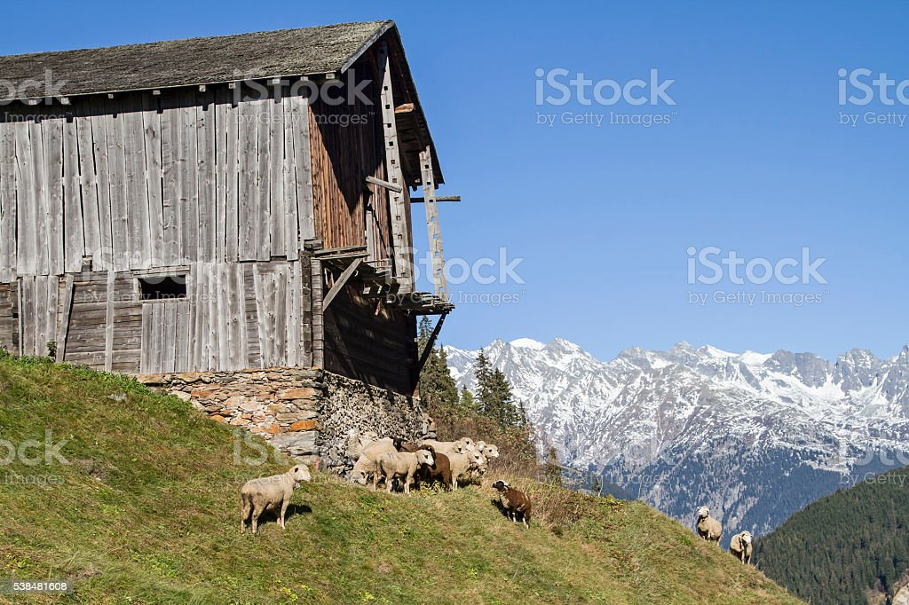 Flock of sheep in the Swiss mountains stock photo