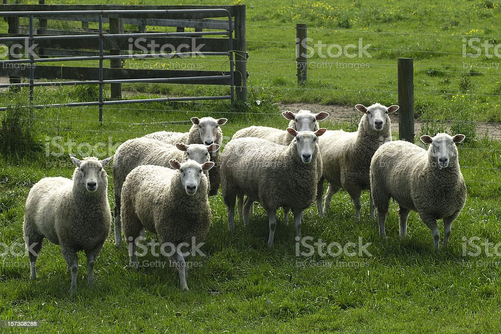 flock of sheep in yard royalty-free stock photo