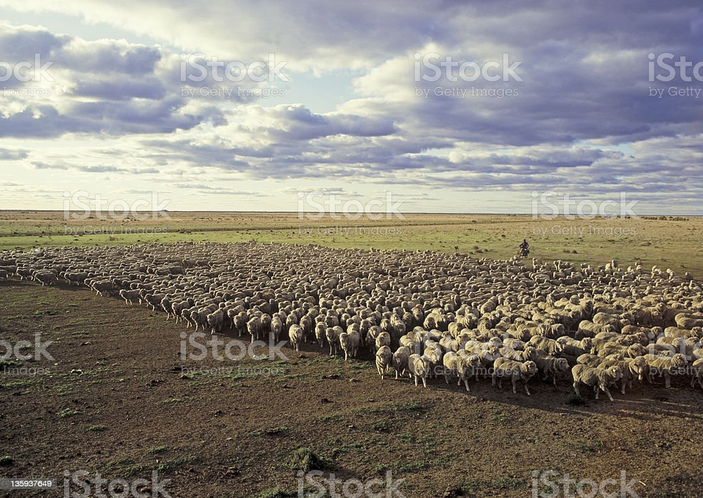 Flock of sheep mustered in a dry paddock stock photo