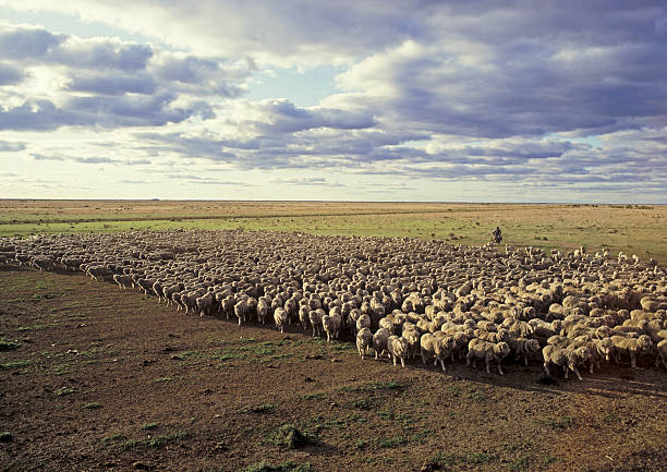 Flock of sheep mustered in a dry paddock Merino sheep being mustered on the Hay Plains of New South Wales, Australia. merino sheep stock pictures, royalty-free photos & images